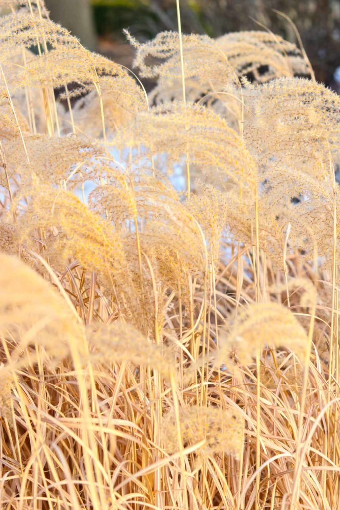 A close up of a dry grass field